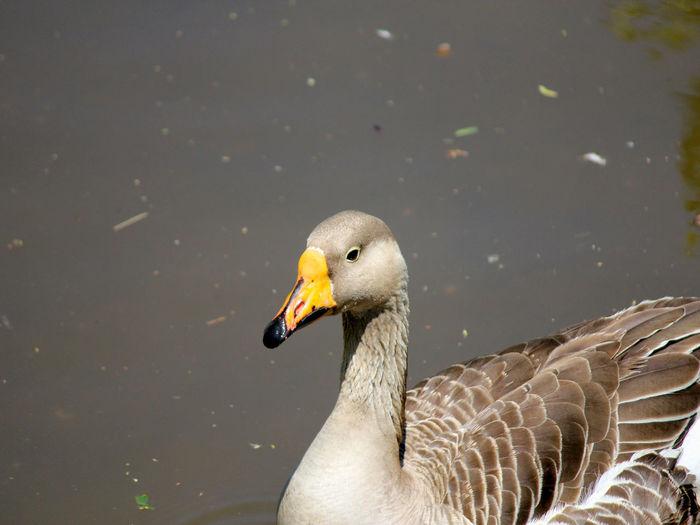 Animal Themes Animal Wildlife Animals In The Wild Beak Bird Close-up Lake Nature No People One Animal Outdoors Swan Water Bird