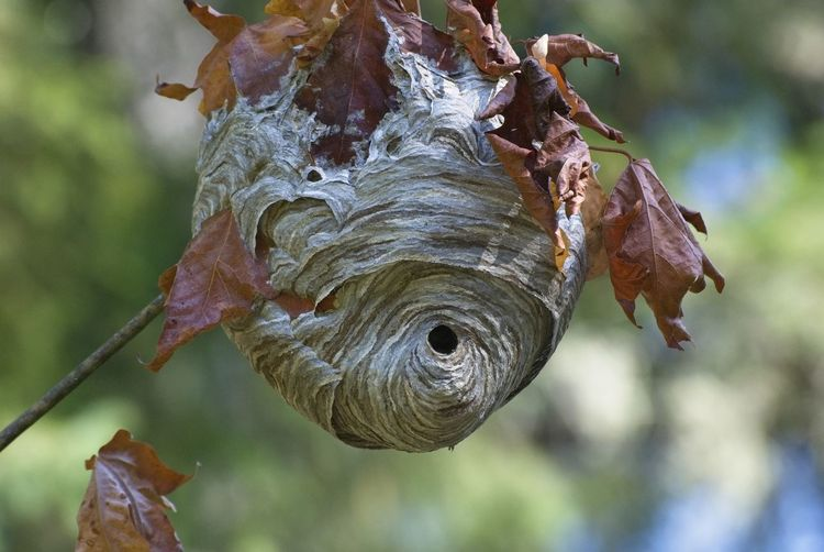 A hornet's nest in mid September. Animal Themes One Animal Close-up Day Focus On Foreground Animal Wildlife Animals In The Wild Nature No People Outdoors Leaf Tree Beauty In Nature Hornets Nest Hornet's Nest September EyeEm Nature Lover EyeEmNew Here Be. Ready. EyeEmNewHere