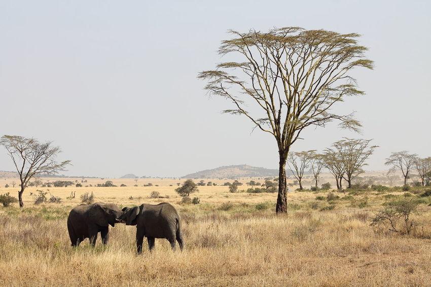 Two elephants in Serengeti National Park African Elephants Animals In The Wild Loxodonta Africana Serengeti National Park African Elephant Animal Couple Animals Kissing Elefant Elephant Safari Safari Animals Serengeti Two Animals