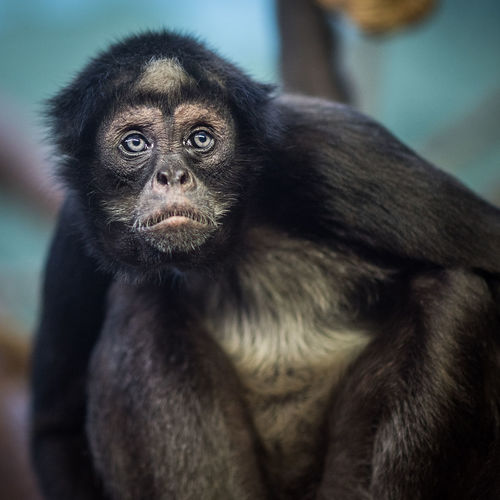 Sad Monkey: a Brown Spider Monkey looking glum. Brown Spider Monkey Close-up Lonely Monkey One Animal Primate Sad Sitting Spider Monkey Unhappy Zoo