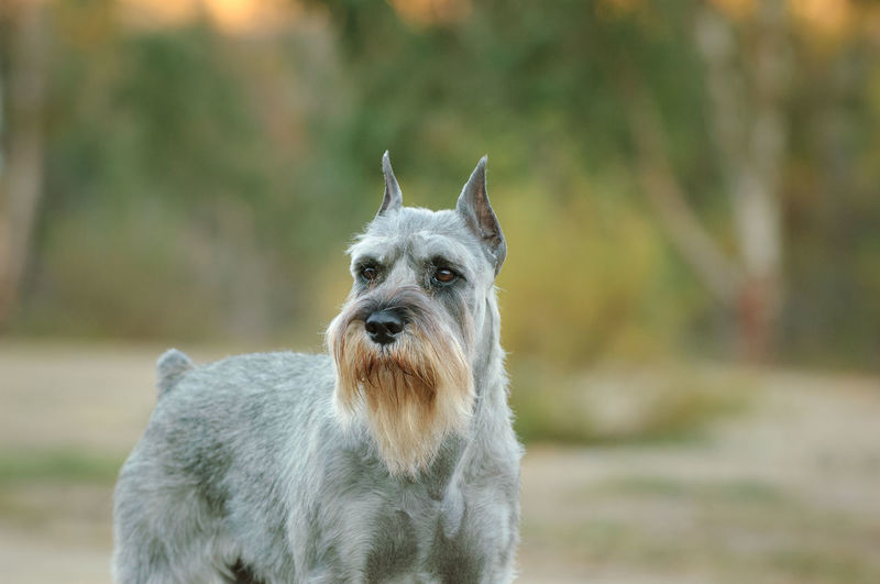 Salt and pepper colored Standard Schnauzer outdoor portrait One Animal Animal Animal Themes Domestic Dog Pets No People Day Portrait Canine Purebred Dog Front View Nature Focus On Foreground Looking Domestic Animals Schnauzer Standard Schnauzer Salt And Pepper Salt Pepper Grey Dogs