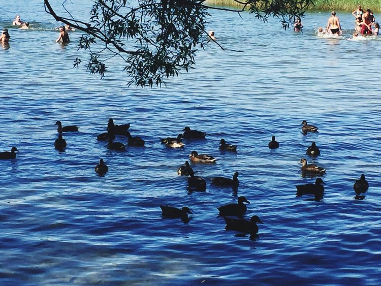 Water Animals In The Wild Reflection Duck Swimming Lake Large Group Of Animals Waterfront Summer 2017 Stockholm, Sweden Hässelby Strand