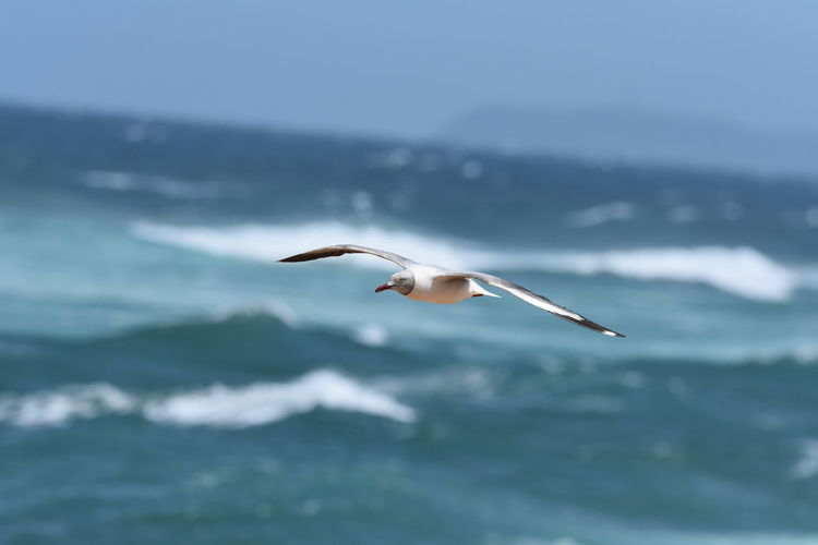 In Flight: Red-Billed Seagull Red-Billed Seagull Wings Spread Bird Photography Bird In Flight Bird Of Prey Bird Spread Wings Flying Sea Seagull Mid-air Animal Themes Sea Bird Animal Wing Fly