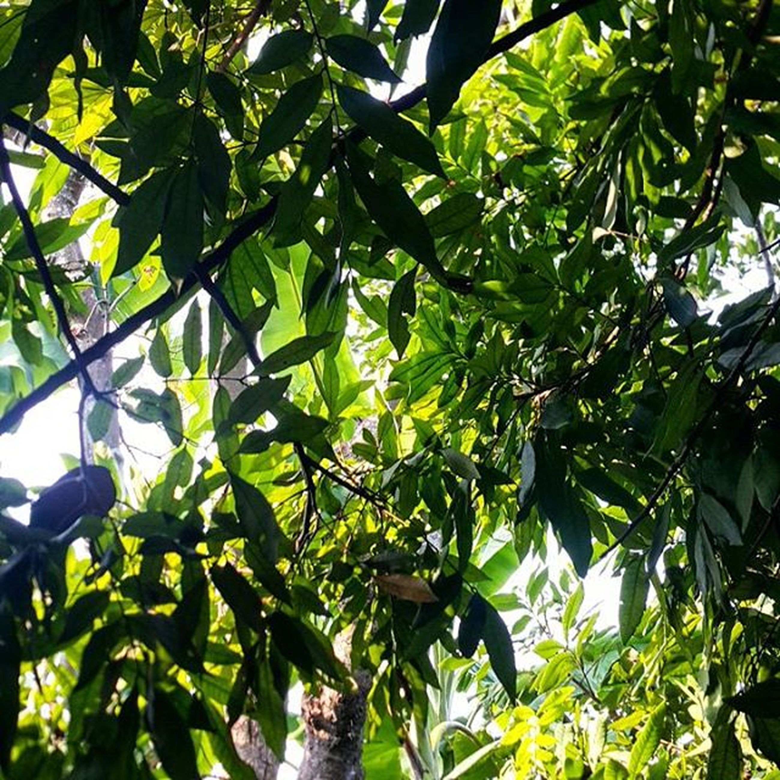 leaf, tree, growth, low angle view, green color, branch, nature, full frame, lush foliage, beauty in nature, tranquility, backgrounds, sunlight, day, outdoors, green, no people, plant, close-up, leaves