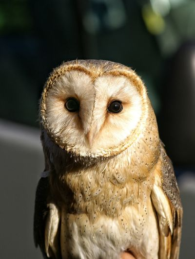 Close-up of barn owl during sunny day
