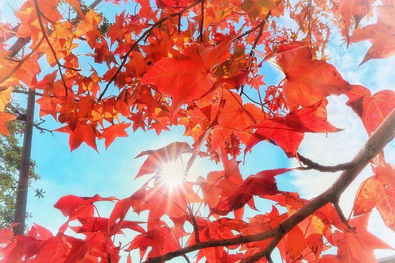 秋 モミジバフウ もみじ 紅葉 🍁🍂autumn Autumn Colored Leaves 秋空 朱色 太陽 日差し Abstract Full Frame Red Sky Clear Sky Beauty In Nature Autumn Leafs Nature Naturelovers Beautiful Nature EyeEm Nature Lover EyeEmNewHere EyeEm EyeEm Best Shots