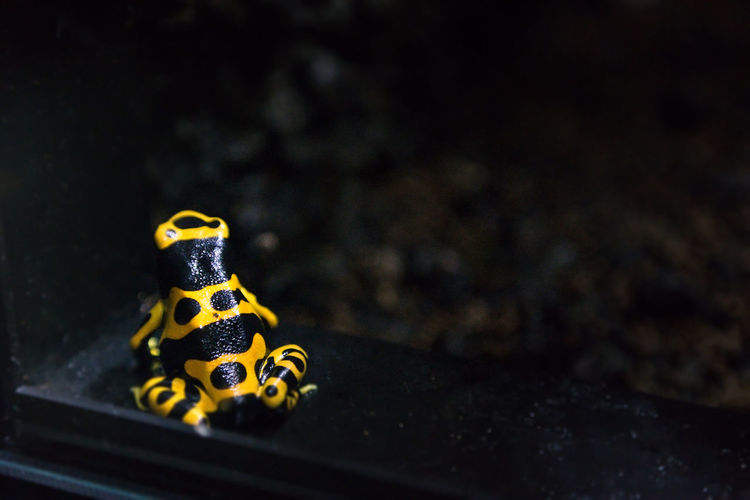 View of yellow-banded poison arrow frog