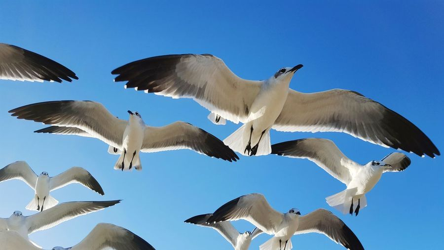 seagulls in flight against a clear blue sky Flying Animal Wildlife Bird Animals In The Wild Spread Wings No People Day Motion Cellphone Photography Sky Blue Sky Seagulls Flight Birds Ocean Beach Close Up