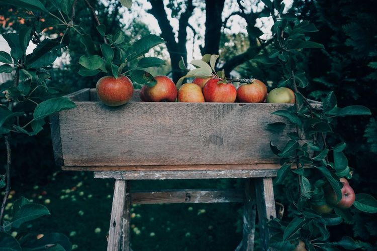 Apples In Wooden Container Against Trees In Orchard