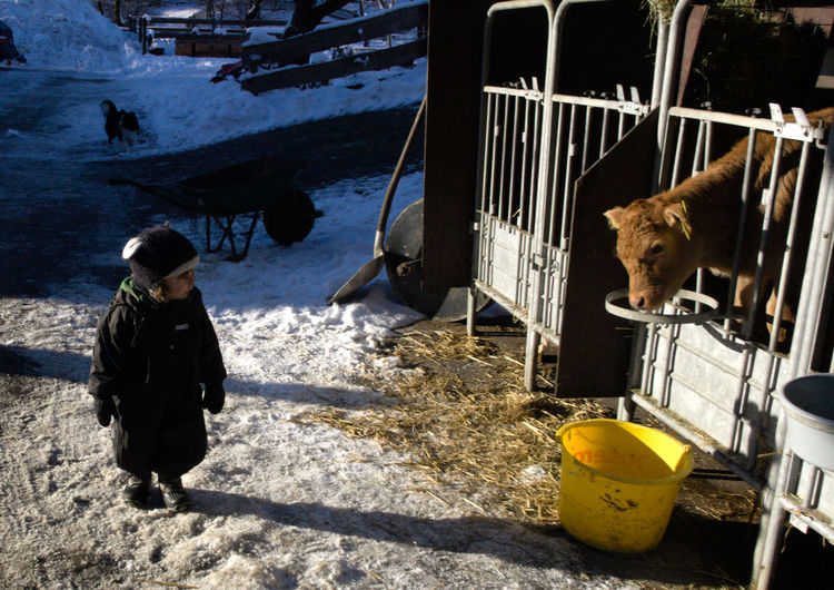 Two children. Snow Winter Cold Temperature Pets One Person Domestic Animals Domestic Nature Day Mammal Warm Clothing Real People Vertebrate One Animal Clothing Full Length Outdoors Child Calf Calves Dairy Farm Cow Children Organic Organic Farm Eye In Eye Childhood Wondering Milk Milk Farm Farm