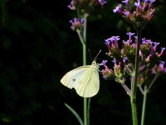 White Butterfly Nature Trowback Summer Summertime Summerfeeling Flower Close-up Focus Butterflies Beautiful Nature