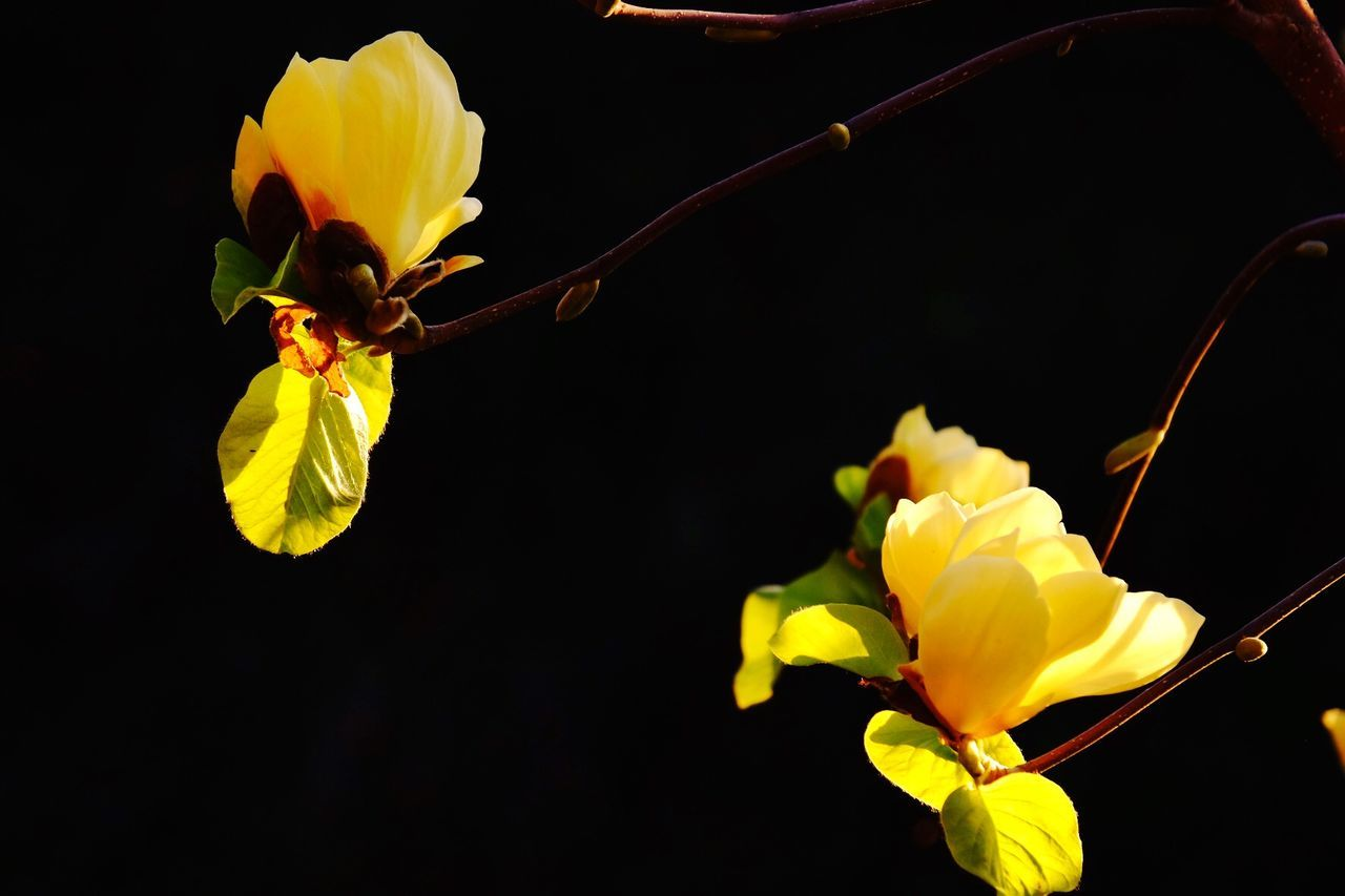 Close-Up Of Yellow Magnolia Flowers