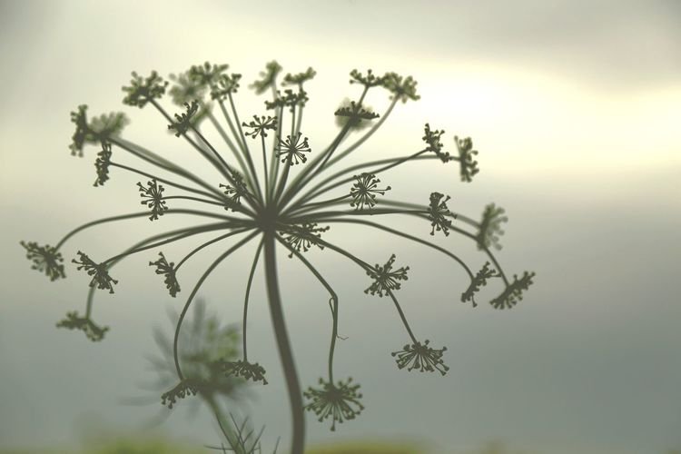 Wallpaper Backlit Backlight Details Of Nature Artistic Photo Poster Wall Art Beauty In Nature Seed Head Structures & Lines Monochrome Dill Flowers Full Frame Plant No People Beauty In Nature Nature Flower Flowering Plant Growth Close-up Plant Part Floral Pattern Day Fragility Tranquility Sky Leaf Freshness Outdoors