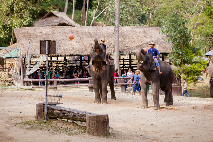 Maesa Elephant Camp Campus Chiang Mai | Thailand Show Thailand Thailand Photos Travel Photography Zoo Activity Animal Camp Chang Donation Elephant Elephant Camp Elephant Show Elephant Thailand Elephants Maesa People Showing Thailandtravel Watching Zoology