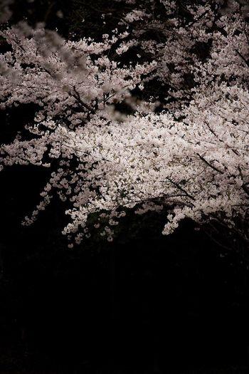 April Light And Shadow Cherry Tree Flower Cherry Blossom Japanese Cherry Blossoms Beauty In Nature Fukuoka-shi Fukuoka Fukuoka,Japan