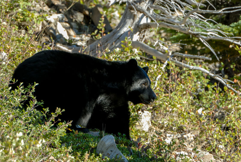 A very big Black Bear was resting in the shade with sunlight on one side of face. Bear Glaicer National Park Wildlife & Nature Wildlife Photography Animal Themes Animal Wildlife Animals In The Wild Big Bear Black Bear Brown Bear Close-up Day Full Length Grass Mammal Nature No People One Animal Outdoors Side View