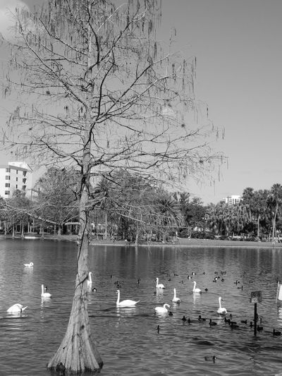 Lake Eola Park in downtown. Animal Animal Themes Animal Wildlife Animals In The Wild Bare Tree Bird Day Duck Floating On Water Flock Of Birds Group Of Animals Lake Large Group Of Animals Nature No People Outdoors Plant Poultry Seagull Swan Swimming Tree Vertebrate Water