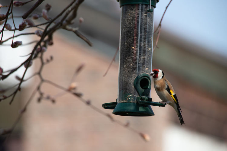 Goldfinch sits on a feeding column and feeds