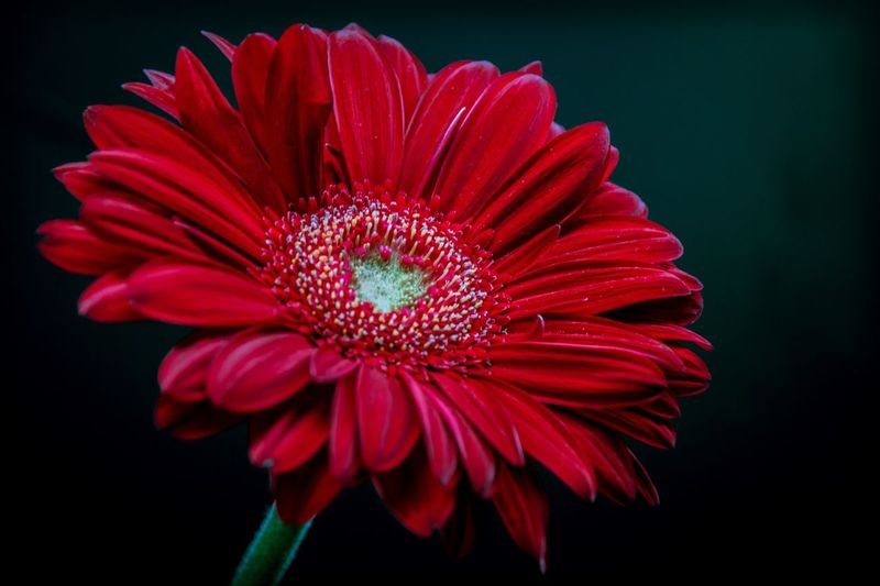 Close-up of red flower against black background