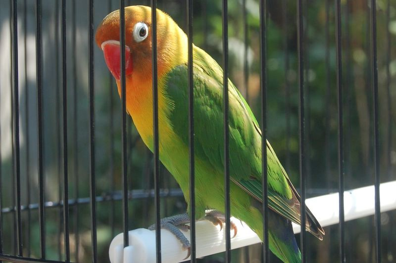 burung Lovebird Bird Macaw Perching Parrot Space Cage Trapped Birdcage Hornbill Multi Colored