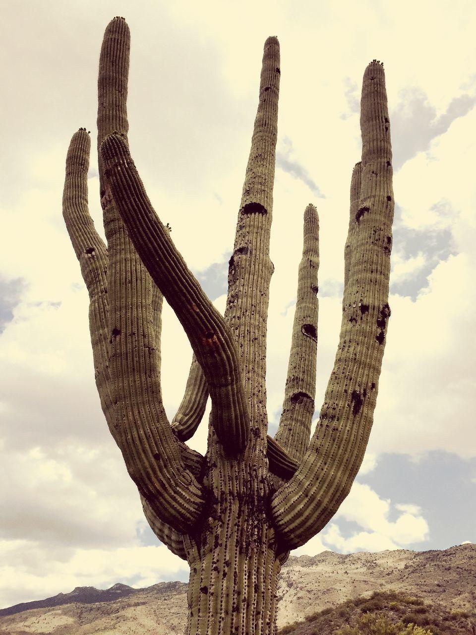 Low Angle View Of Saguaro Cactus