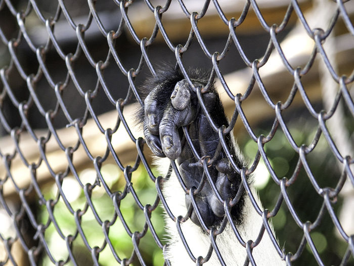 Impound Imprisoned Animal Animal Themes Ape Cage Caged Freedom Freedom Hand Monkey Prison Zoo The Great Outdoors With Adobe