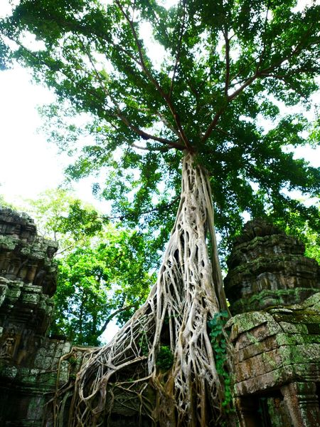 Tree Low Angle View Tree Trunk Day Growth Outdoors No People Nature Branch Ta Phrom Temple Ta Phrom Angkor Green Color Ancient Old Ruin Ruin Place Of Worship Stone Material Religion Cambodia EyeEmNewHere Tourism Travel Tree Area Nature Perspectives On Nature
