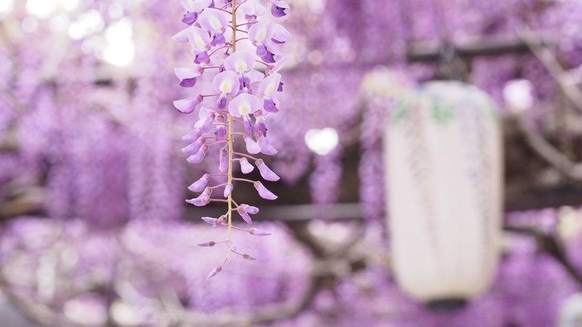 藤祭り Purple Flower EyeEm Best Shots EyeEm Nature Lover Flower Photography Flowerlovers Spring Enjoying Life Beautiful ♥
