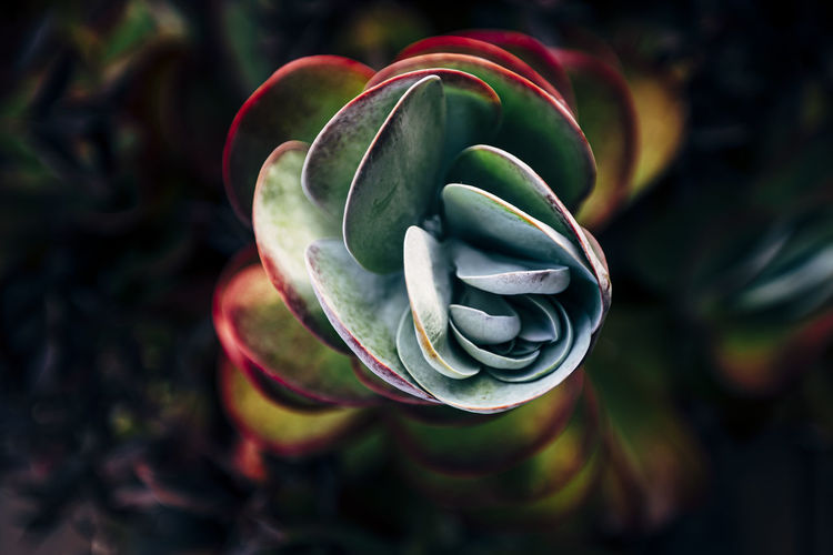 Close-up of succulent plant