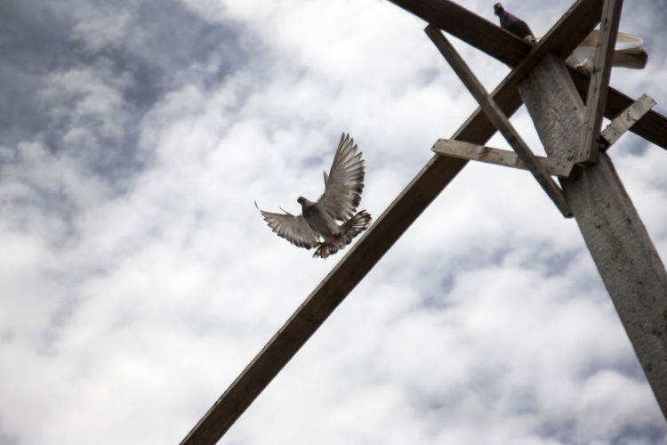 Low angle view of pigeon landing on wood against cloudy sky