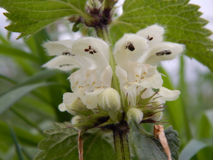 dead-nettle Beauty In Nature Bloom Blooming Blooms Blossom Botany Close Up Close Up Flower Close Up Nature Close-up Dead-nettles Flower Flower Head Focus On Foreground Fragility In Bloom Macro Macro_collection Nature No People Petal Plant Pollen White White Color