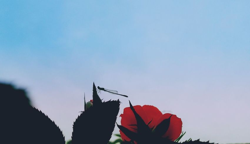 Dragonfly Red Roses Silhouette Sky Leaves🌿 No People Outdoors Day EyeEm Gallery EyeEm Selects Hello World Earth EyeEm New Here I Love You Eyeem Vietnam EyeEm Nature Lover EyeEm Viet Nam Photographers Nature From My Point Of View Flowers, Nature And Beauty My Photos