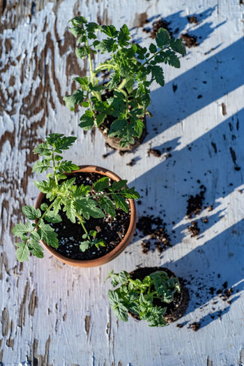 table top view of gardening or potting bench with young tomato plants, clay pot, garden basket Freshness Growing Plants Herb High Angle View Indoors  Leaf Mint Leaf - Culinary No People Plant Plant Part Potted Plant Potted Plants Table Tomato Plant Vegetable Garden Vegetable Plant Wellbeing Wood - Material