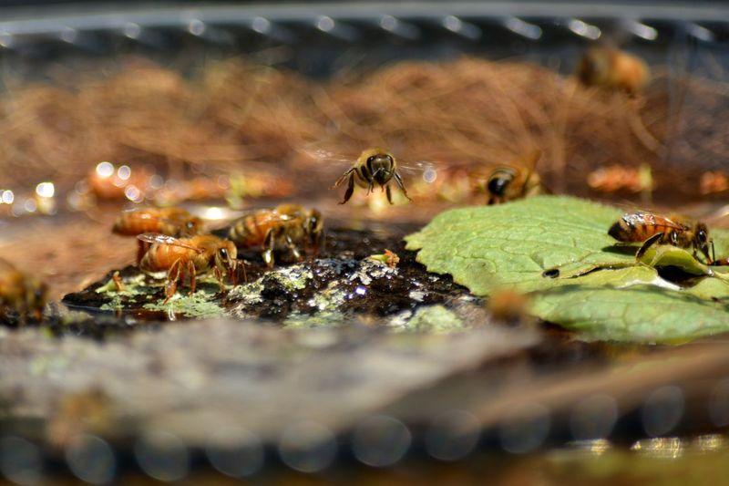 Honey bee in flight over bee bath in backyard apiary