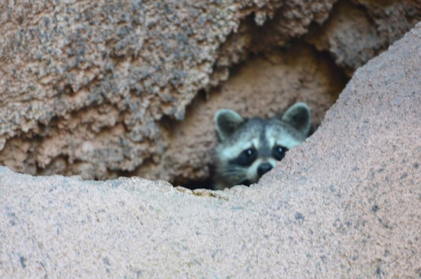 hiding in the rocks Racoon Animals Hiding Out Hiding From The World