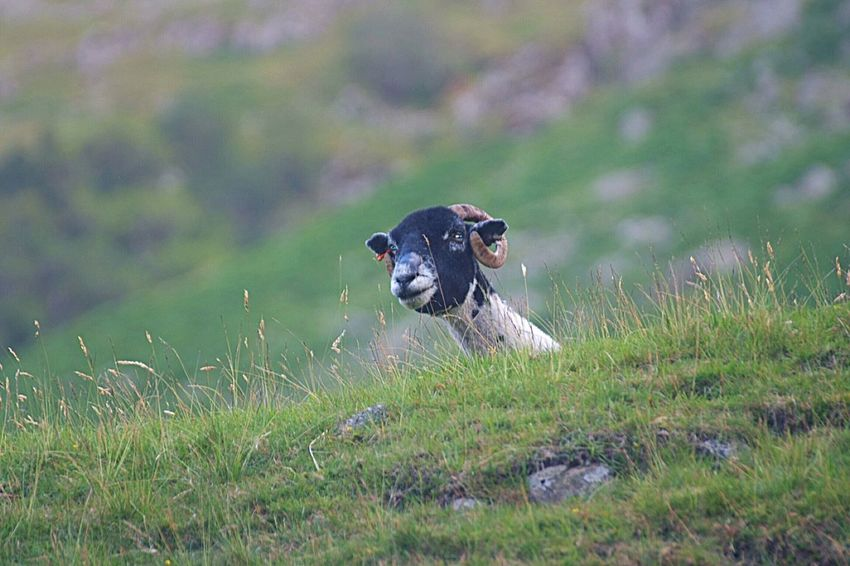 You looking at me? Sheep Grass Domestic Animals Mammal One Animal Pets Animal Themes No People Day Nature Lake District Lake District National Park Uk England