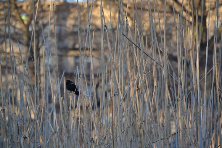 A red-winged blackbird in the reeds at the Fenway Victory Gardens in Boston, MA. Photo taken February 2016. Animal Themes Animals In The Wild Bird Fenway Nature No People One Animal Blackbird Red-winged Blackbird Outdoors Reeds Reeds, Weeds, Marshland, Marsh, Selective Focus Victory Garden