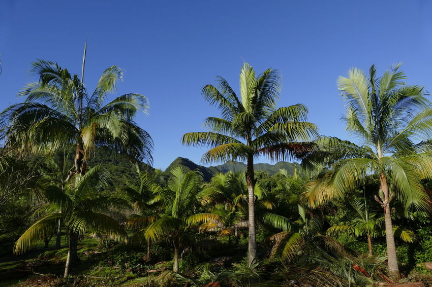Beauty In Nature Blue Clear Sky Day Growth Nature No People Outdoors Palm Tree Scenics Sky Tranquility Tree
