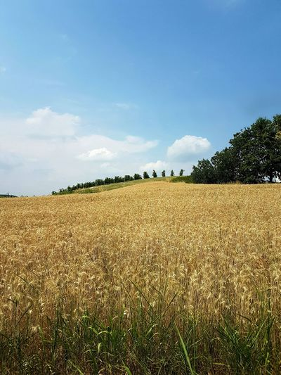 Tranquility Sunlight Luminosity Scenics Piedmont Italy Langhe Summer Beauty In Nature Freshness Tree Landscape Outdoors Nature No People Day Sky Growth Rural Scene Crop  Cereal Plant Field Agriculture Clear Sky