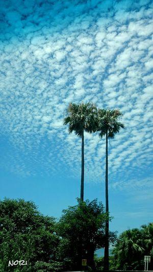 お疲れさま~🙋渋滞中に見た風景🌴~ Landscape seen in a Traffic Jam やっぱ Kagoshima は南国だわf(^_^; Window View My Job EyeEm Nature Lover Hagging A Tree Clouds And Sky Blue Sky