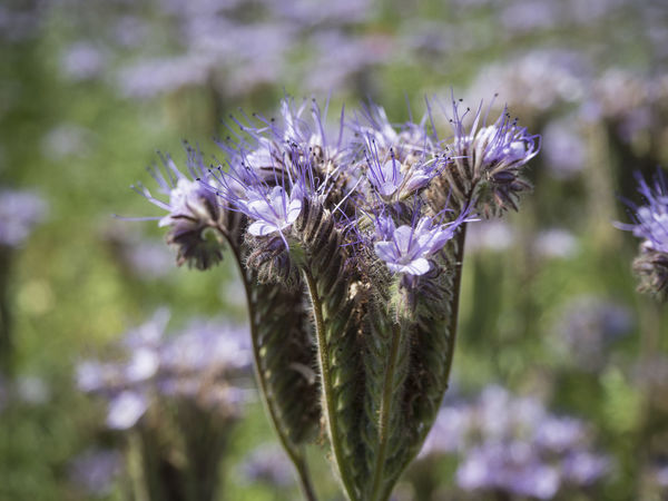 Phacelia Beauty In Nature Close-up Flower Focus On Foreground Fragility Freshness Growth Nature Outdoors Plant Purple