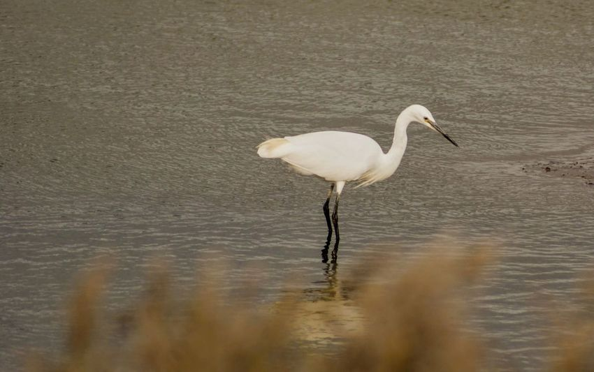 Animal Animal Neck Animal Themes Animal Wildlife Animals In The Wild Bird Day Egret Great Egret Lake Nature No People One Animal Outdoors Reflection Selective Focus Shallow Vertebrate Water Waterfront White Color