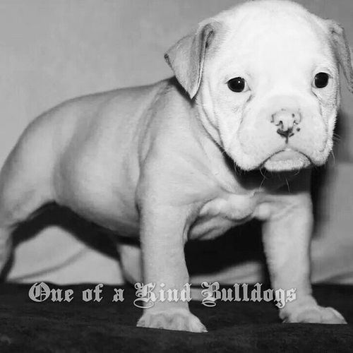 This pretty girl is available, she is off our Fancy and Beef litter. She has an awesome pedigree with health tested parents and grandparents. This girl will be quality with amazing conformation and temperament. Priced at $2500 as a pet. Ready for new homes 12-19-14. As always Oneofakindbulldogs come with a lifetime guarantee, full vaccines, microchip and complimentary spay or neuter at our local D.V.M. Check our site for more info or to see other available pups. Oldeenglishbulldogges Oldeenglishbulldogge Oldenglishbulldogs oldenglishbulldog premierbreeder oeb oebpuppies puppiesforsale cute adorable bulldogpuppies toocute victorianbulldogs bullyinstagram bullyinstafeature insta_dog bulldogs bulldog californiadreamin SD lovemylife dogoftheday