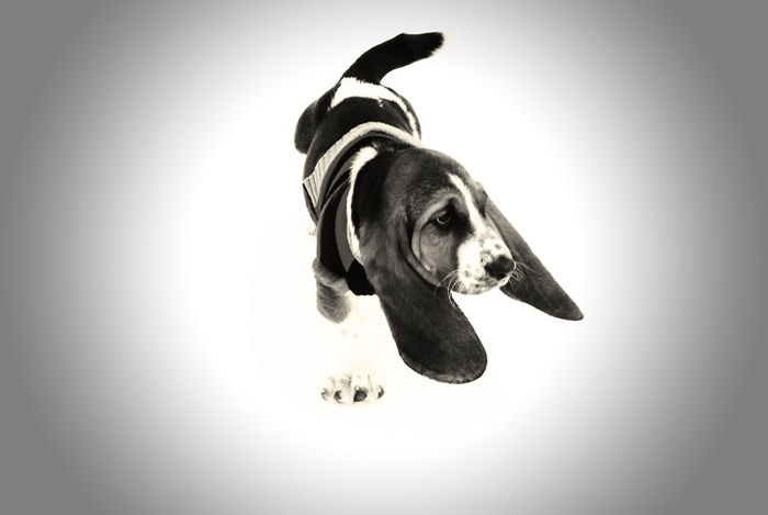 Basset On Ice Black and White Animal Animal Head  Animal Themes Basset Basset Hound Bassethound Black And White Dog Domestic Animals Ears European Basset Hound Extreme Close Up Hound Hound Dog HoundDog HOUNDS Ice One Animal Puppy Snow White Background Winter Pet Portraits Black And White Friday