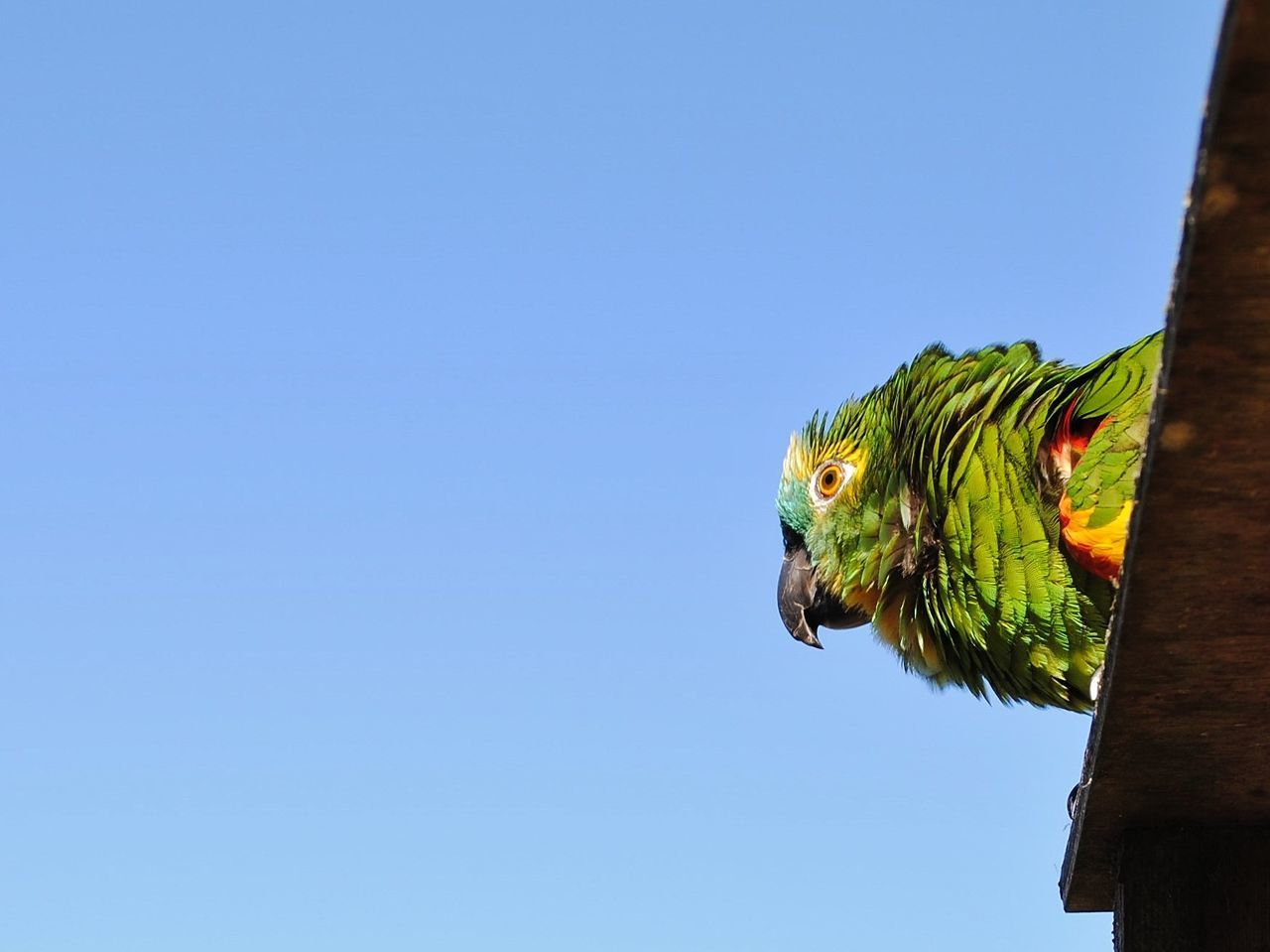 one animal, animal, animal themes, vertebrate, bird, copy space, animal wildlife, parrot, clear sky, animals in the wild, blue, low angle view, sky, no people, day, nature, perching, outdoors, green color, mammal, animal head, rainbow lorikeet