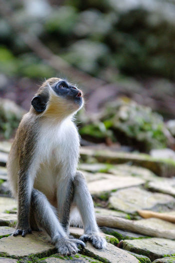 Barbados Wildlife Park Green Monkey Animal Wildlife Animals In The Wild Day Focus On Foreground Full Length Looking Looking Away Mammal Nature No People One Animal Primate Rock Rock - Object Sitting Solid Vertebrate
