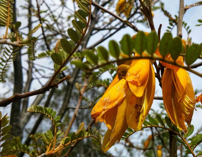 https://youtu.be/64mb_hUOb4g 😊...Kowhai is Yellow... 😃Tree Branch Nature Leaf Beauty In Nature No People Hanging Low Angle View Outdoors Day Growth Close-up Freshness Sky Spring In New Zealand Nice Touch Greenery Flowers Fragility Tree Beauty In Nature Plant Looking Up Spring Is Here