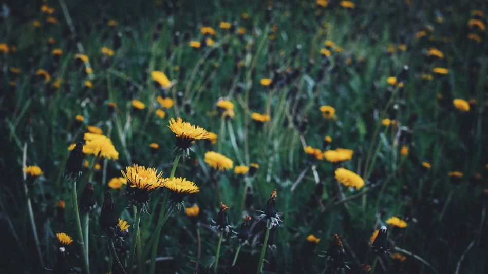Flower Growth Plant Nature Field Flora Vegetation Blooming Blossoming  Spring Summer Yellow No People Freshness Beauty In Nature Grass Outdoors Flower Head Fragility Close-up Green Color Wildflower EyeEm Best Shots Fujifilm_xseries Paint The Town Yellow