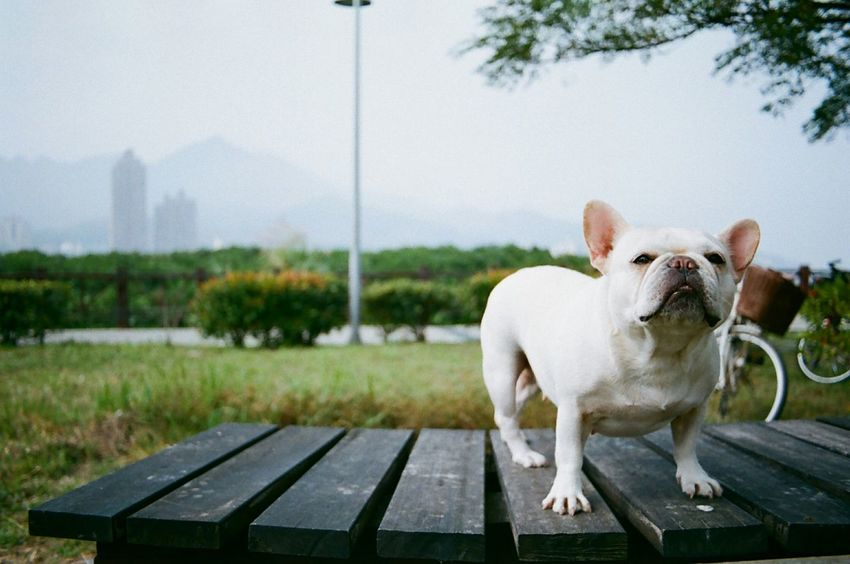 Walking Around 35mm Film On A Health Kick Cute Dog  Playing With The Animals Dog Days Frenchbulldog Dog Elegance Everywhere Getting In Touch 鐵蛋 Resist Pet Portraits