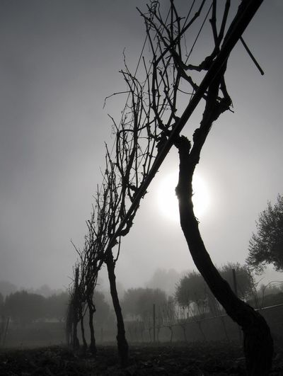 Grapevines in